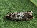 Epinotia subocellana (41225393102).jpg