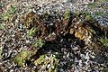 Epping Forest High Beach Essex England - a rotted tree stump.jpg