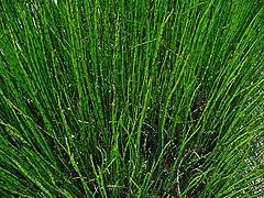Equisetum fluviatile 001.JPG