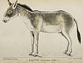 Equus Hemionus, Pallas - Journal of the Asiatic Society of Bengal. July 1848 (IA s1id13303760) (page 2 crop).jpg