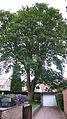 Erable-sycomore (acer pseudoplatanus).jpg