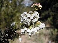 Erica arborea flors