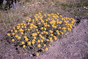Eriogonum flavum - Image: Eriogonumflavum