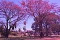 Erythrina crista-galli Santa Cruz de la Sierra.jpg