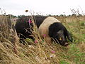 Essex boar.jpg
