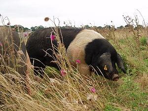 Essex pig - An Essex boar