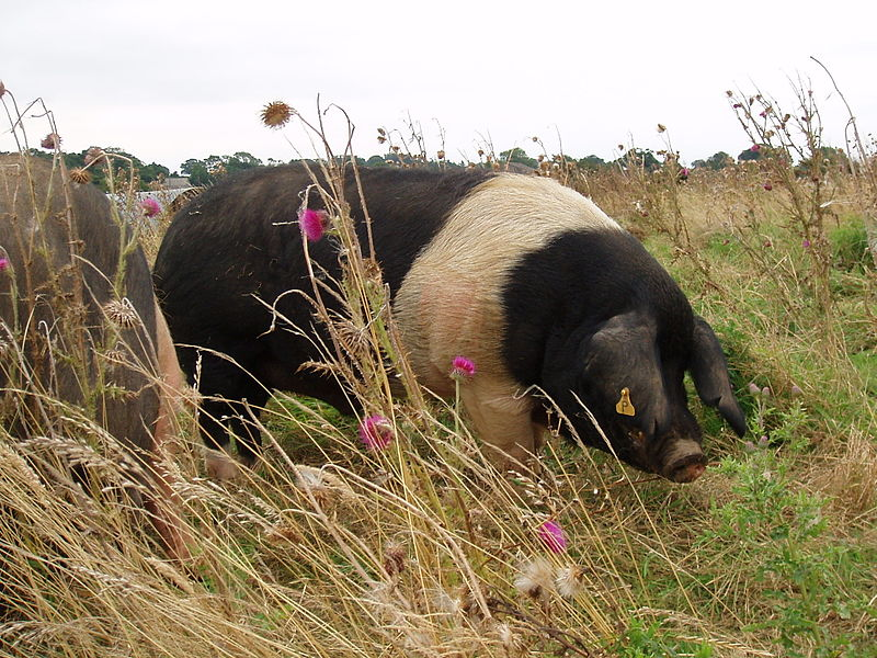 File:Essex boar.jpg