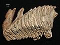 Estonian Museum of Natural History Specimen No 177598 photo (g21 g21-28 jpg).jpg