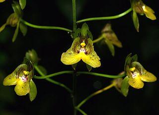 <i>Eulophia pulchra</i> species of plant