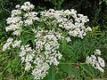 Eupatorium perfoliatum SCA-04384.jpg