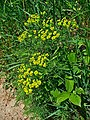 Euphorbia cyparissias 001.JPG
