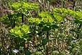 Euphorbia helioscopia ENBLA03.JPG