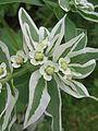 Euphorbia marginata, 2015-07-22, Beechview, 02.jpg