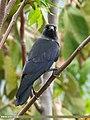Eurasian Jackdaw (Corvus monedula) (48051180017).jpg
