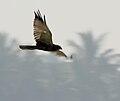 Eurasian Marsh Harrier (Circus aeruginosus) in AP W IMG 3876.jpg
