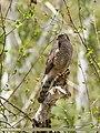 Eurasian Sparrowhawk (Accipiter nisus) (38234016846).jpg