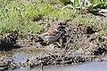 Eurasian Tree Sparrow (Passer montanus) (8079438591).jpg