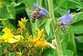 European Honeybee in Vipers Bugloss ALB.jpg