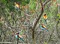 European bee-eater (Merops apiaster) (32023987450).jpg