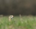 European ground squirrel - Siesel - Spermophilus citellus 03.jpg
