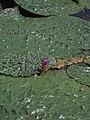 Euryale ferox01.jpg