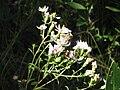 Eurybia compacta.jpeg