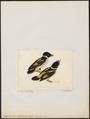 Eurylaimus ochromelas - 1845-1863 - Print - Iconographia Zoologica - Special Collections University of Amsterdam - UBA01 IZ16700281.tif