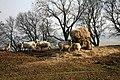 Ewes feeding - geograph.org.uk - 1212917.jpg