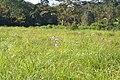 Exacum bicolor 06 Habitat.jpg