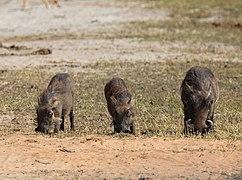 Facoceros comunes (Phacochoerus africanus), parque nacional de Chobe, Botsuana, 2018-07-28, DD 32.jpg