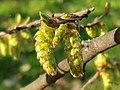 Fagales - Corylus avellana - 10.jpg