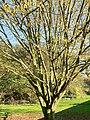 Fagales - Corylus avellana - 5.jpg
