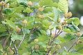 Fagus crenata fruits.jpg