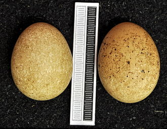 Eleonora's falcon - Eggs, Collection Museum Wiesbaden