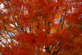 Fall-orange-maple - West Virginia - ForestWander.png