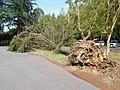 Fallen Tree by Typhoon 24, 2018.jpg