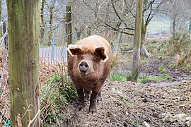Farm pig in Stirling (DSCF0095).jpg
