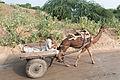 Fatehpur-28-Camel cart-20131008.jpg