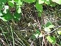 Fazan - Phasianus colchicus, jaja.jpg