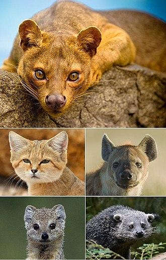 Feliformia - Several extant feliform families: Eupleridae, Felidae, Hyaenidae, Herpestidae and Viverridae.