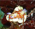Felimida clenchi (harlequin blue dorid) from John Pennekamp Coral Reef State Park, Florida.jpg