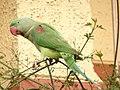 Female Alexandrine Parakeet 4.jpg