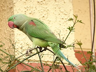 Alexandrine parakeet - Female