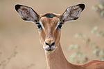 Female impala headshot.jpg