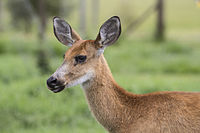 Femea Cervo do Pantanal Perfil.jpg