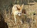 Fennec Fox @ Africa Alive, Lowestoft 2.jpg