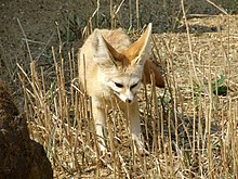 A fennec fox standing around in tall grass.