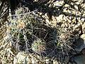 Ferocactus flavovirens (5754238762).jpg