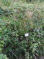 Festuca heterophylla - Botanical Garden, University of Frankfurt - DSC02592.JPG