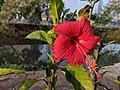 FileHibiscus rosa-sinensis 29.jpg